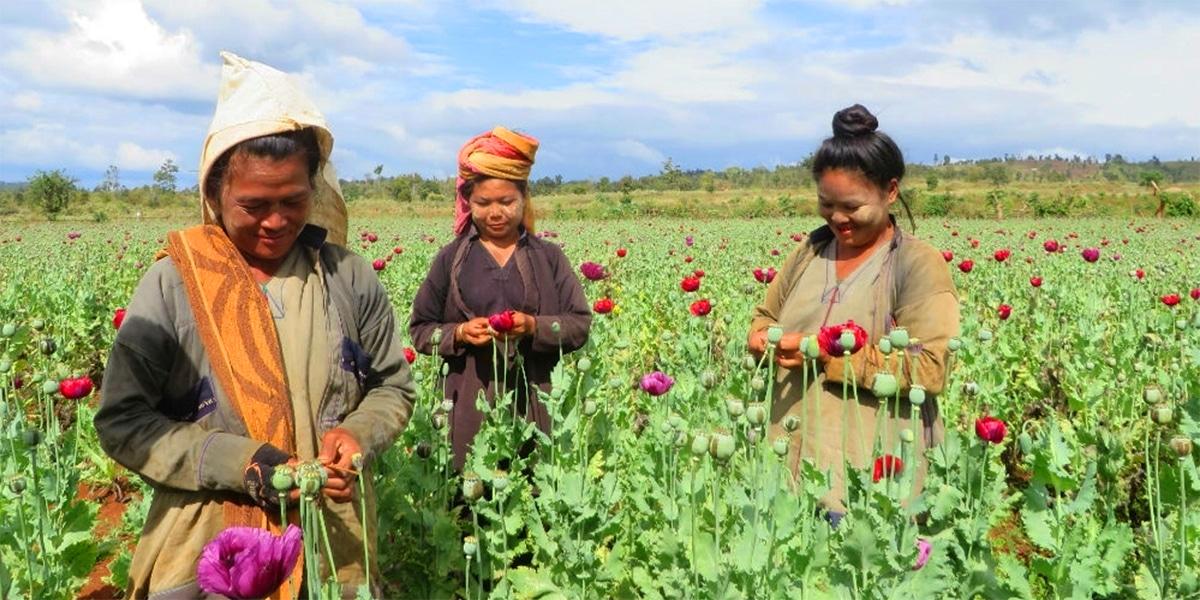 Conflictfood_Mohn_Myanmar_Anbau