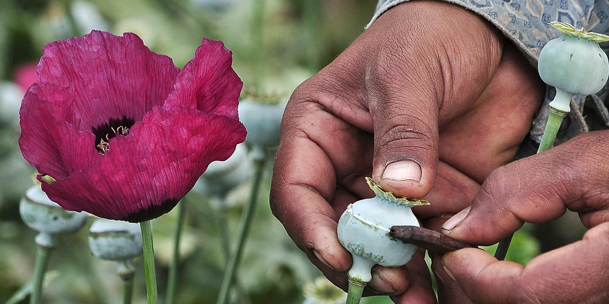 A man lances a poppy bulb to extract the sap, which will be used to make opium, at a field in the municipality of Heliodoro Castillo, in the mountain region of the state of Guerrero January 3, 2015. According to local media, 42% of the poppies produced in Mexico come from the state of Guerrero, where impoverished farmers in the mountain cultivate opium poppies as cash crop due to the extreme poverty in where they live. Picture taken January 3, 2015. REUTERS/Claudio Vargas (MEXICO - Tags: DRUGS SOCIETY POVERTY AGRICULTURE) - RTR4OXFT