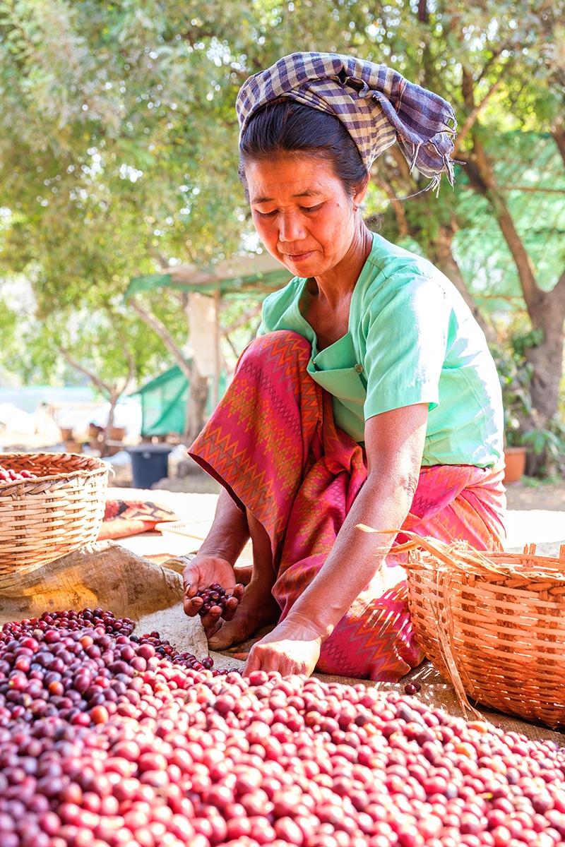 Conflictfood_Kaffee_Myanmar_trocknung